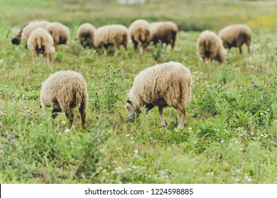 Sheeps on a summer field/toned photo