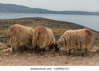 Sheeps at the seaside