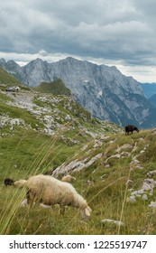 Sheeps in Slovenia Alps