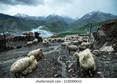 Sheeps and suckling lambs in Kurush