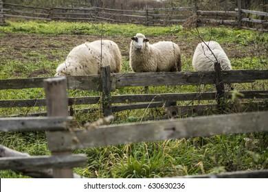 Sheeps / three / farm