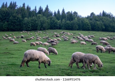 Sheeps of Transylvania