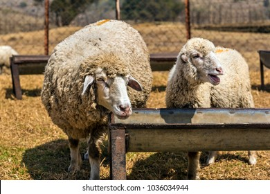 Sheeps waiting for meal to be served at a Sheep Farm in Kodaikanal, India