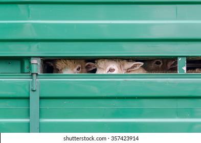 Sheeps waiting for transportation