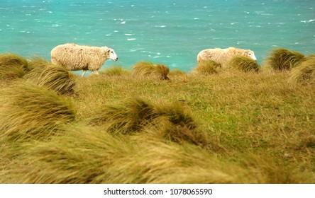 Sheeps walking between the ocean and the meadow