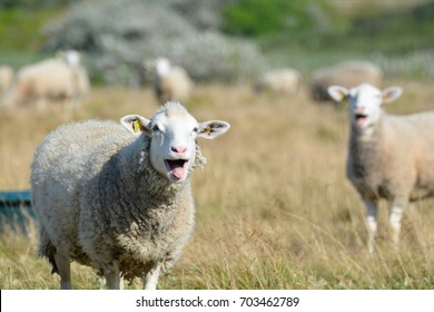 Sheeps which are bleating