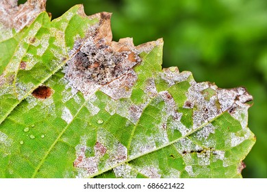 Sheet grapes affected by fungal disease, downy Mildew, false mildew ( Plasmopara viticola )
