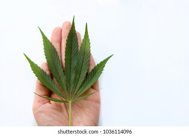sheet of marijuana in the palm of your hand. hemp medicines drug.