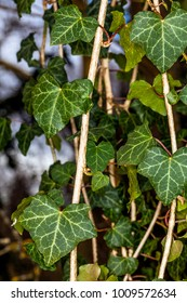 Sheets of Ivy in a forest. FRANCE - Compiegne December 23rd, 2018