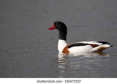 Shelduck, Tadorna tadorna, single bird on water, Midlands, April 2011
