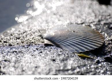 shell clam big macro meer watt mud flat - Shutterstock ID 1987204139