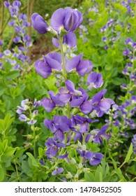 Shell dyer, Baptisia tinctoria, is an important medicinal plant with blue flowers and is widely used in medicine. It is a perennial and belongs to the dyer plants.