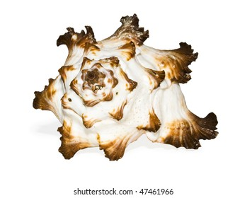 Shell isolated on white + clipping path