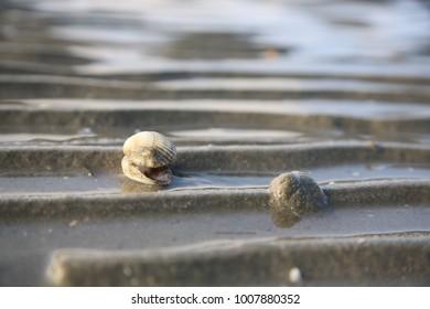 Shell at Mud Flat