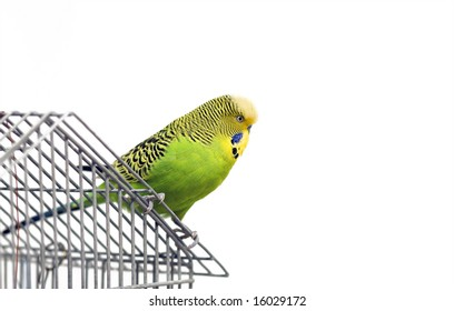 shell parakeet sitting on the cage
