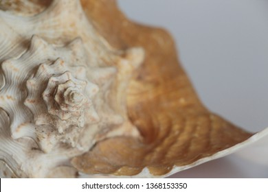 Shell of queen conch, also known as the Lobatus gigas or Strombus gigas, on the gray background. It's a species of large edible sea snail. Sea life, vacation and souvenir concept.