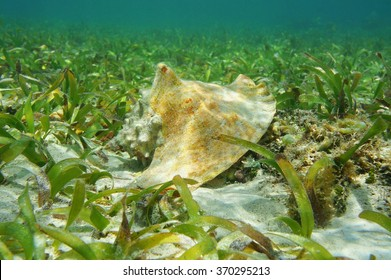 Shell of queen conch, Lobatus gigas, underwater on seabed with seagrass, Caribbean sea