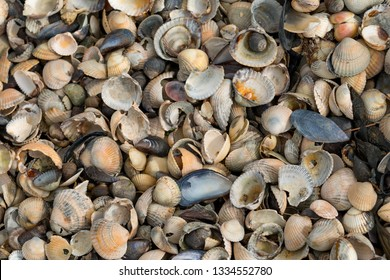 Shells lie at low tide in the Wadden Sea, on the North Sea coast