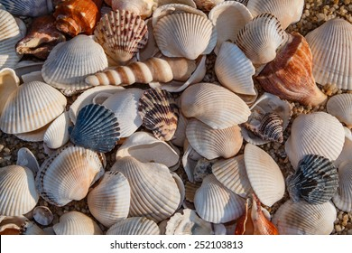 Shells of many types and sizes are found on our shelling beaches.