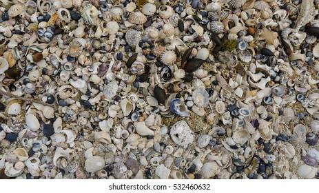 Shells on a beach in Victoria, Australia