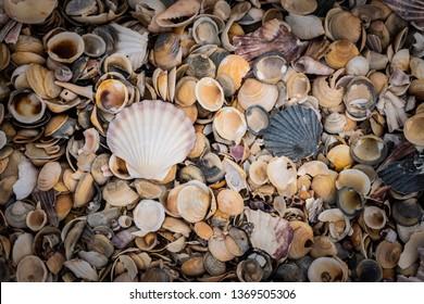 shells on Kelvedon Beach