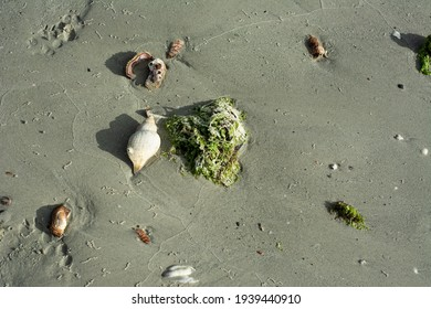 Shells and seaweed on the sand. Seashore. Remains of stones, algae and snails after low tide
