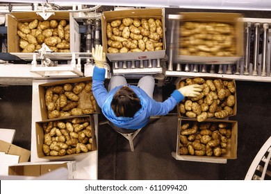 Shelly, Idaho, USA, Oct. 1, 2009 A view of potatoes being boxed for grocery store sale