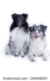 Sheltie and australianshepherd dog sitting on white background