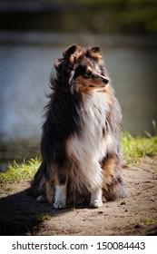 sheltie collie dog on nature