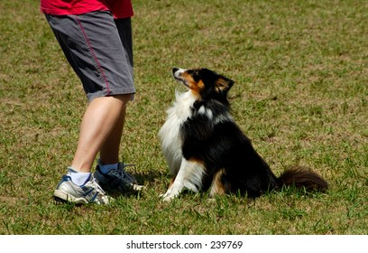 A Sheltie at a dog agility trial