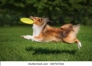 Sheltie dog in flight catches a frisbee disc. Dog activity. Shetland Sheepdog Breed.