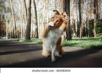 Sheltie dog at the park at summer