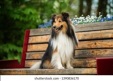 Sheltie dog sitting on a park bench