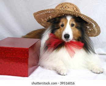 Sheltie with a hat a red box