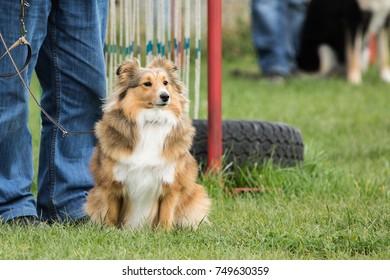 sheltie little dog