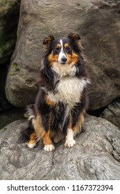 Sheltie on the rocks