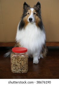 Sheltie sitting with a container of treats