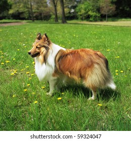 a sheltie standing in the park