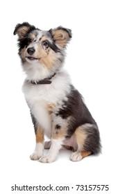 shelty or Shetland Sheepdog puppy