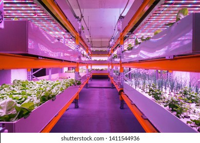 Shelves with lettuce in aquaponics system combining fish aquaculture with hydroponics, cultivating plants in water under artificial lighting, indoors