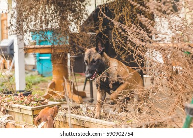 Shepard dog playing aggressively with a dachsund outside in a home back yard.