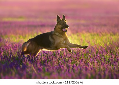Shephard dog run fast in violet flowers
