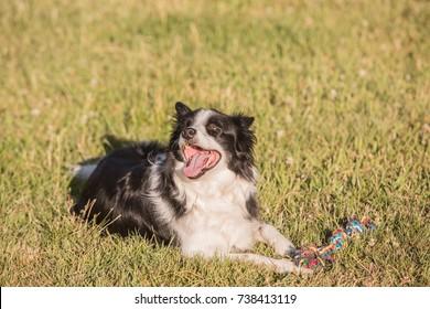 Shepherd Border collie dog