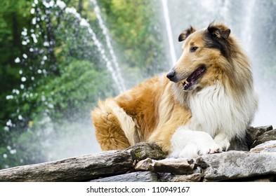 Shepherd collie