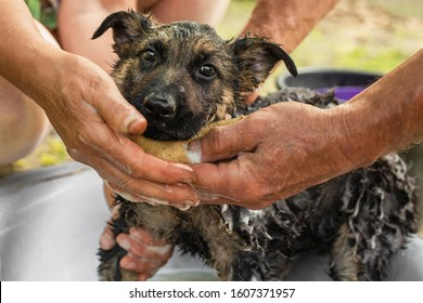 Shepherd dog bathing from fleas. The health of a purebred puppy