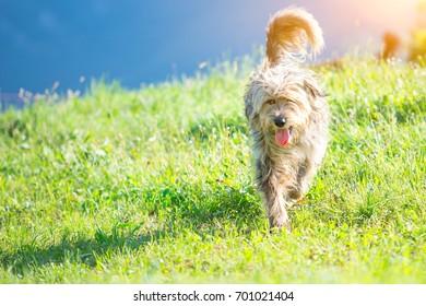 Shepherd dog bergamasco in the meadow.