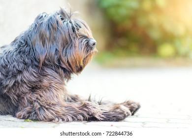 Shepherd dog bergamasco profile.