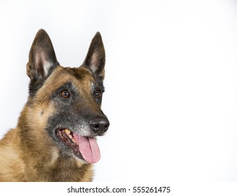 Shepherd dog copy space. The dog breed is Belgian shepherd dog also known as malinois.