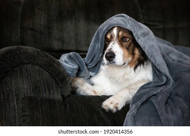 A shepherd dog covered with a blanket on the couch