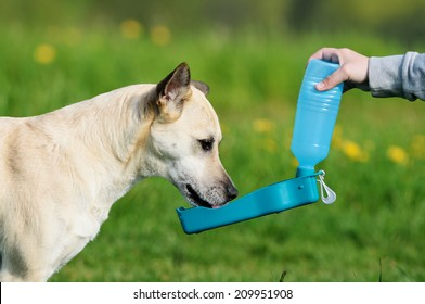 shepherd dog drinking water during summer heat